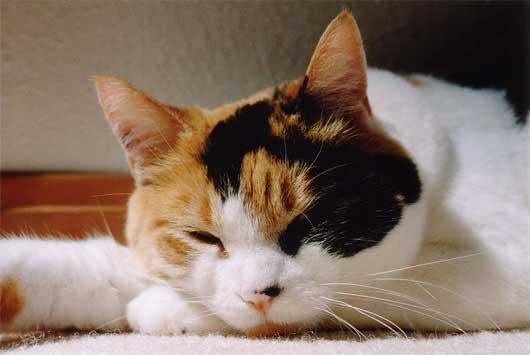 calico-cat-2
